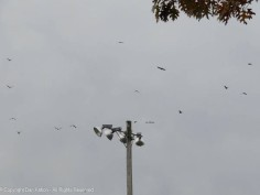 I think it's a complete murder of crows heading from the park in the direction of our house.
