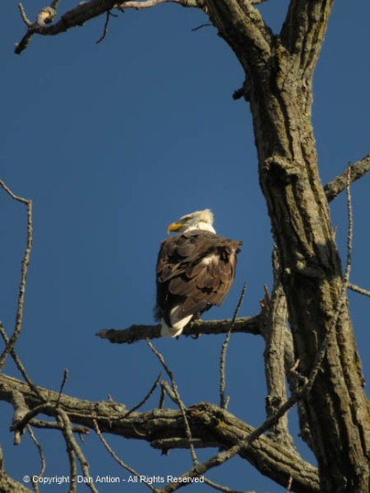 This is the male, looking for food in the river? It's hard to know. We stayed for a long time, hoping to see them move.