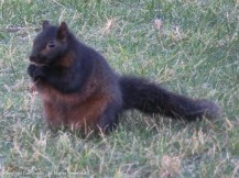 This is not one of our squirrels. Perhaps a cousin. He doesn't seem in danger of wasting away.