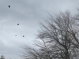 These four crows are coming in for a landing, and making a lot of noise.