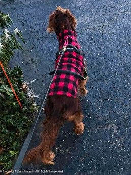 21°f (-6°c), no winter coat (Irish Setters don't have an undercoat) but that buffalo plaid vest is like Superman's cape with Maddie.