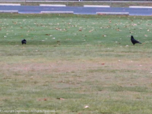 Both crows on the ground.