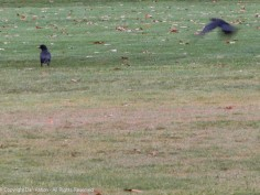Jinx coming in for a landing next to Slow Joe Crow.