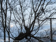 I was trying to get the blue jay and the moon closer, but neither were cooperating.