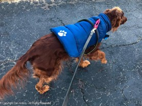 She wears this vest on windy days. Maddie would go out regardless, but Setters don't get a winter coat, so we have to help her.