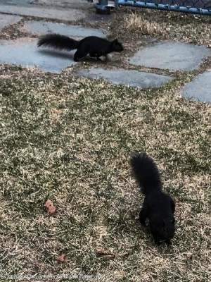 """Smokey and Smokey are """"foraging"""" for food."""