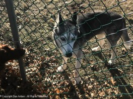 Maddie and Chinook visiting at the fence.