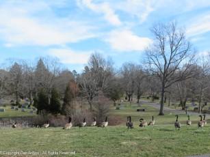 Geese seem to like Cedar Hill Cemetery, too.