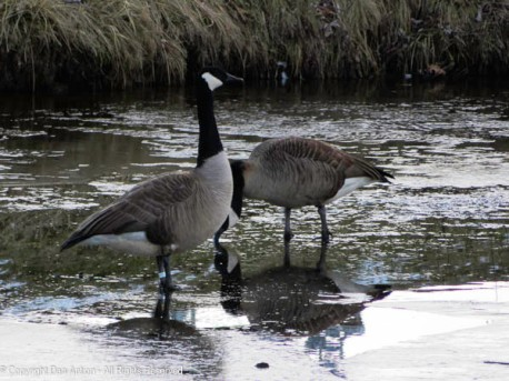 I thought they might be standing on the ice, but they were just in very shallow water.