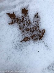 The rain is melting the snow that was covering this leaf.