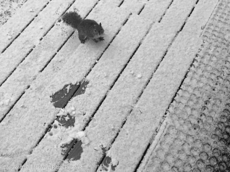 """We had a little snow on Saturday morning, but this little guy was out """"foraging"""" for food."""