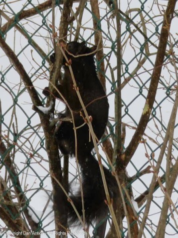 Smokey has his peanut and is climbing up and over the lilacs.