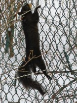 Smokey scaling the fence.