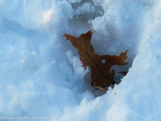 Another oak leaf trapped in the snow.