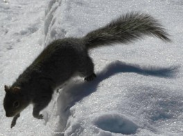 Action shot of one of the little gray squirrels.