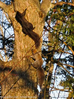 These two clowns were running all over this tree. I think it's spring fever.