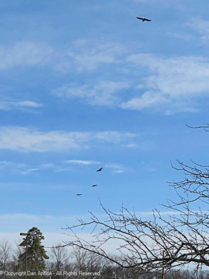 The crows are coming in for the game.