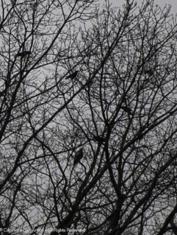 The crows will be invisible soon.