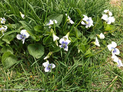 Wild violets (the bunny likes these).