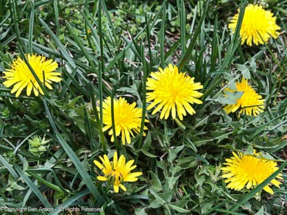 Dandelions are up (we like them).