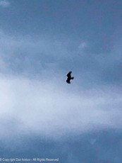 Maddie and I were sitting as this hawk flew overhead.