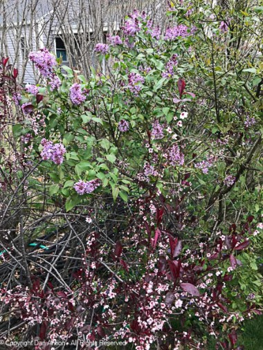 Sand cherries and lilacs are starting to bloom. Rose of Sharon have barely begun to bud.