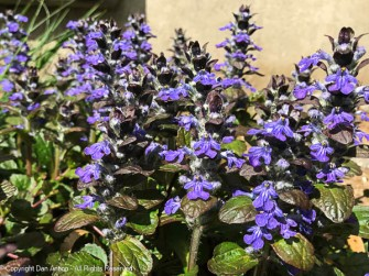 This ground cover is only a few inches tall, but it makes a big statement when it blooms.