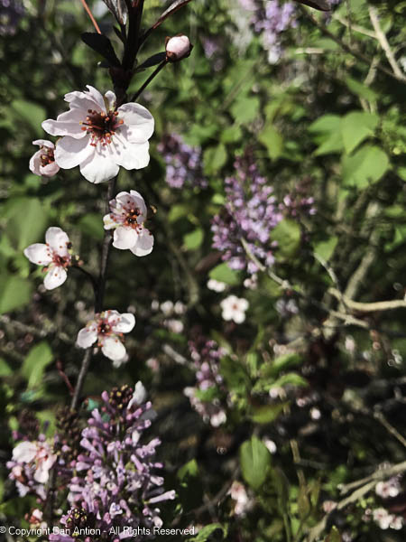 Sand cherry blossoms are not much bigger than a dime, but they are intricate little things.