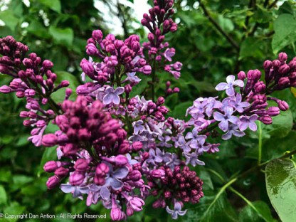 The lilacs are starting to bloom.