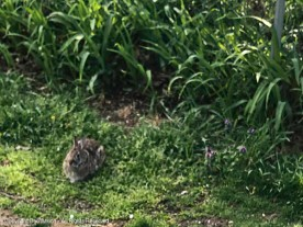 The bunny doesn't seem to mind the rain.