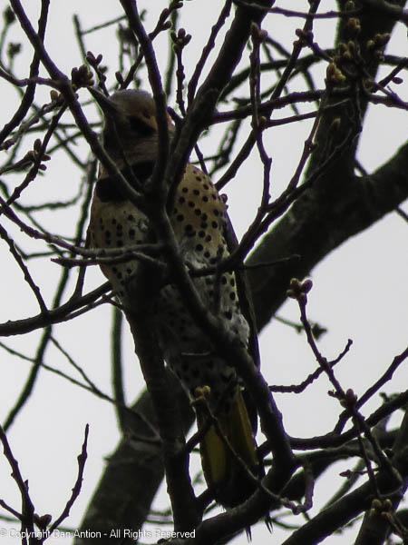 Flicker in our neighbor's tree.
