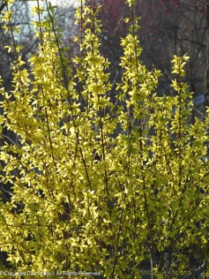 Forsythia is starting to bloom (this is in our neighbor's yard).