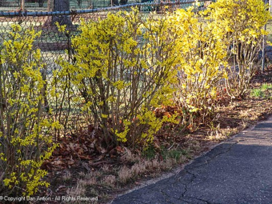 Our forsythia are waking up.