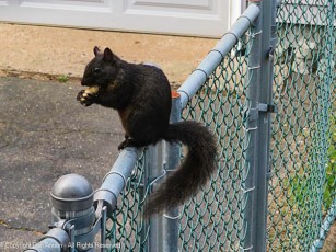 The squirrels like to get up on some higher perch to eat their peanuts.