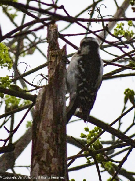 The woodpecker is working hard in our neighbor's tree.