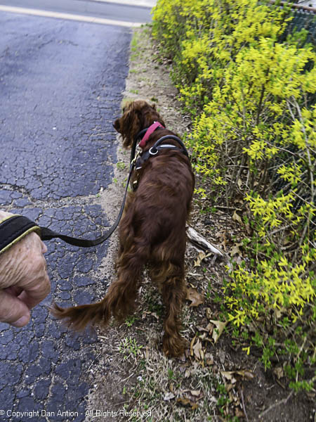 Maddie wanted to check out the forsythia.