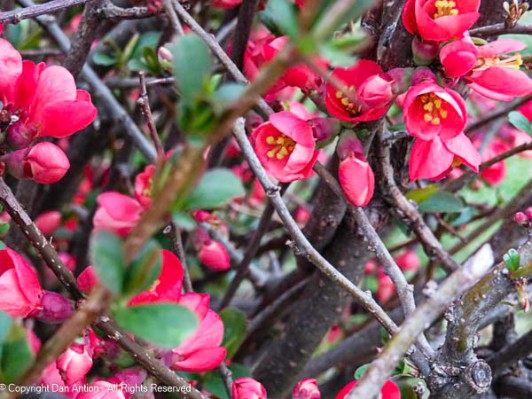 Our quince are starting to bllom.
