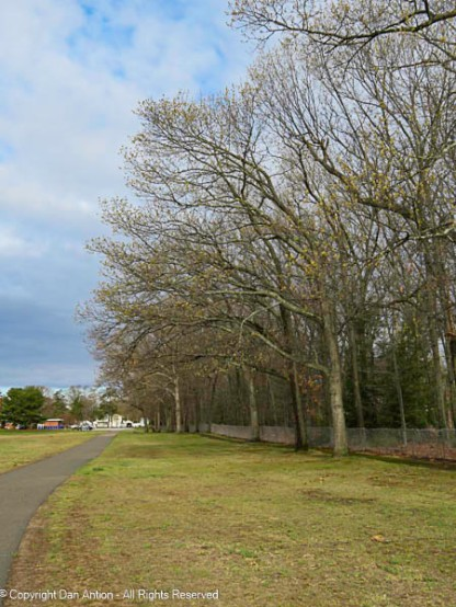 The oak trees along Maddie's path are starting to bud.