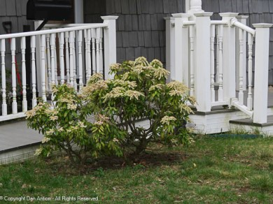 The Editor likes these shrubs (Pieris japonica). I had a bad track record with their care.