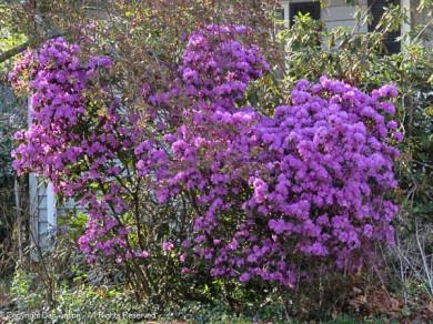 Our neighbor's shrubs.