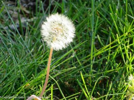 The first dandelion going to seed. These guys don't waste any time.