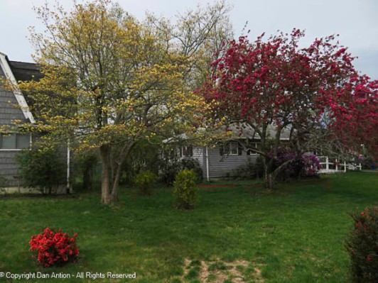 The little quince, the dogwood, the forsythia and our neighbor's crab apples are all in bloom.