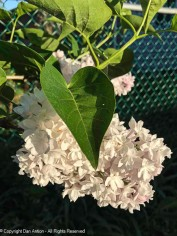 Beauty of Moscow lilac - sill in bloom.