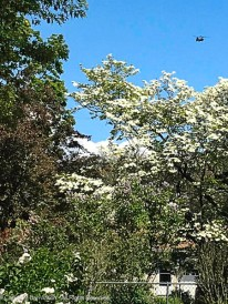 Chinook over the dogwood.