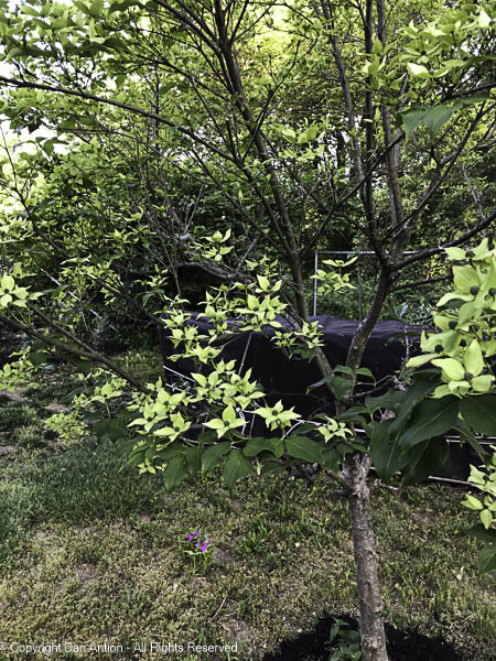 The Korean Dogwood is beginning to bloom.