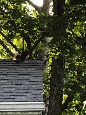 Smokey is on the roof. I've suggested that he could clean the gutter for me, but he's too busy eating.