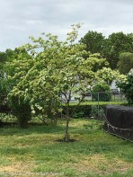 We have another Koren dogwood in the back yard.