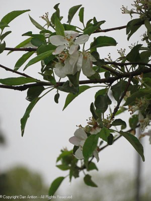 The apple blossoms in the park are fading.