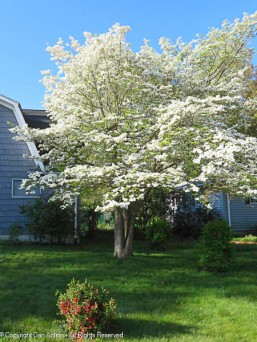 The dogwood is in full bloom