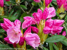 Rhododendrons are starting to bloom.